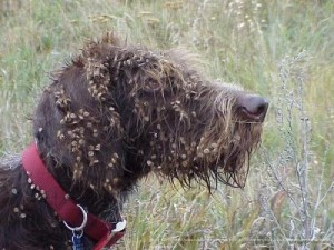This dog is covered Hounds Tongue which is a nuisance in Beaverhead County.